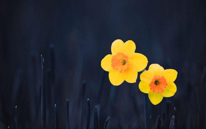 photos of daffodils