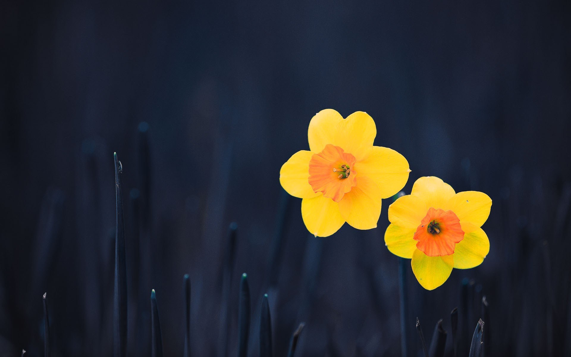 photos of daffodils