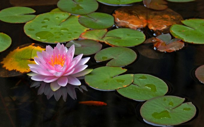 photos of lotus