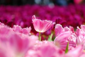 pics of pink flowers