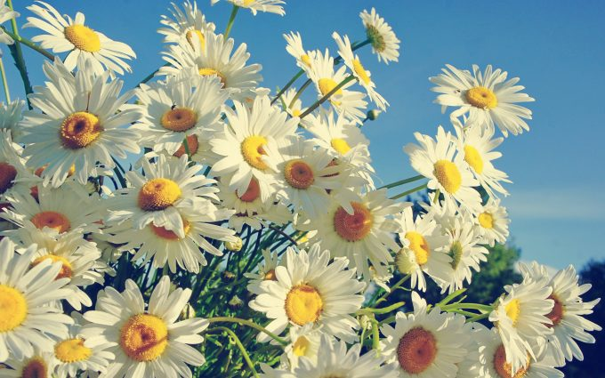 picture of a daisy flower