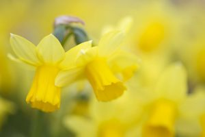 picture of daffodils flowers