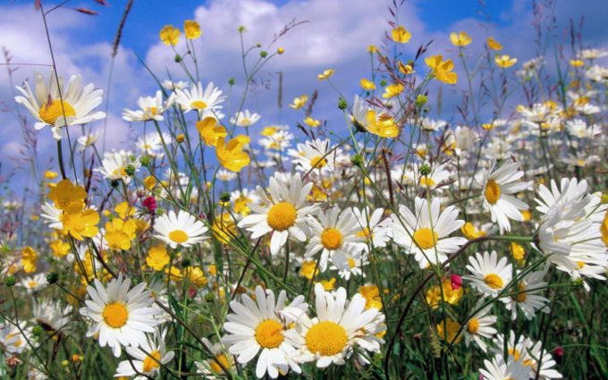 picture of daisy flowers
