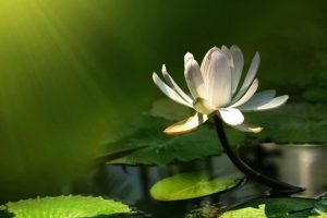picture of lotus flower