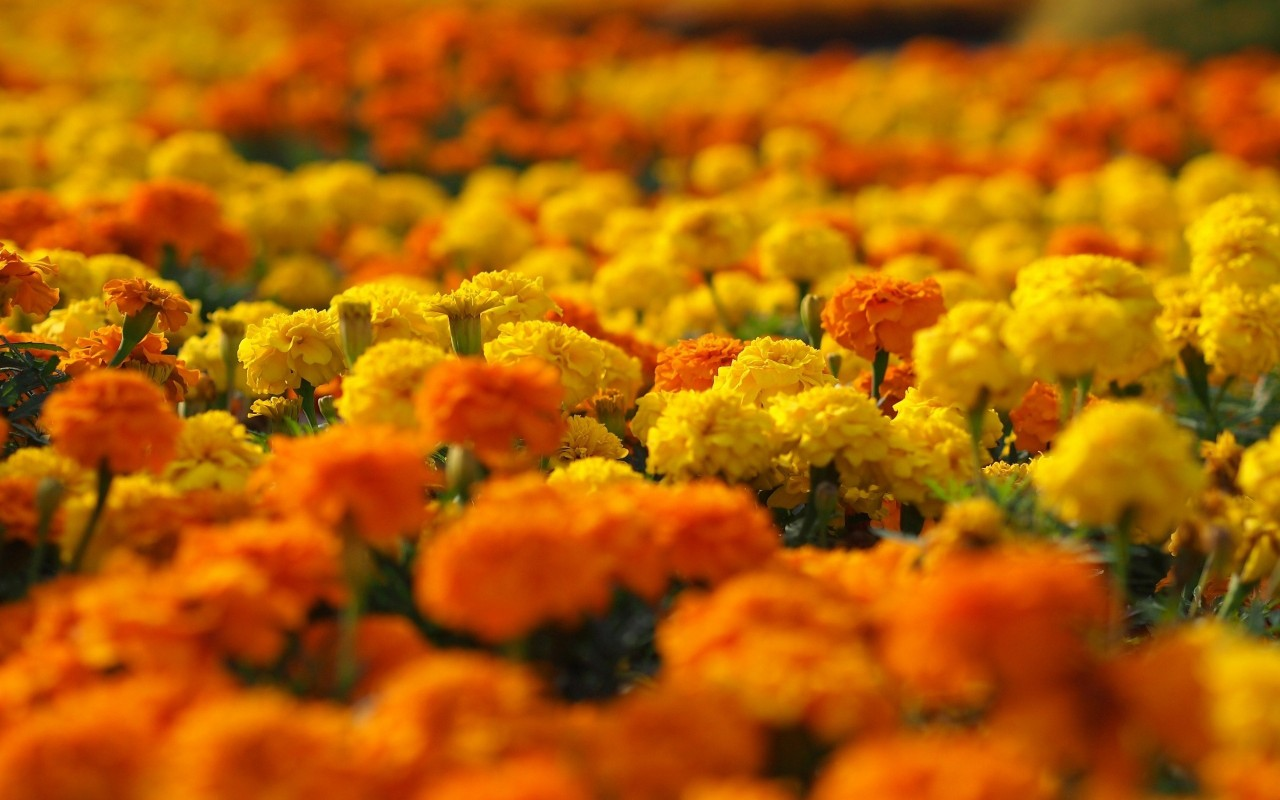 picture of marigold flower