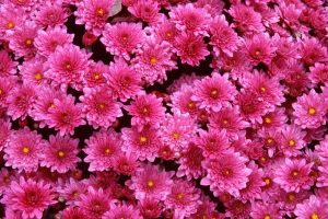 picture of pink flower