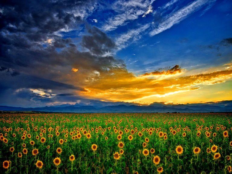 desktop wallpaper picture: Picture Of Sunflower - HD Desktop Wallpapers