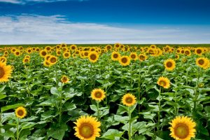 picture of sunflower flower