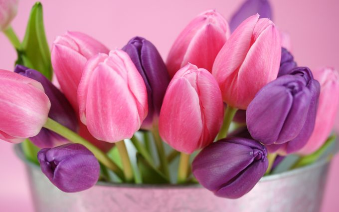picture of tulips flower