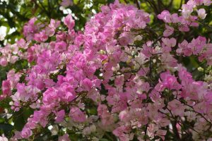pictures of bougainvillea flowers
