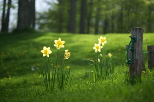 pictures of daffodils spring flowers