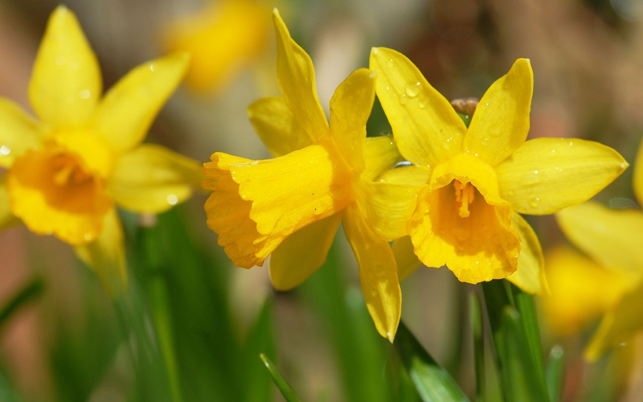 pictures of daffodils
