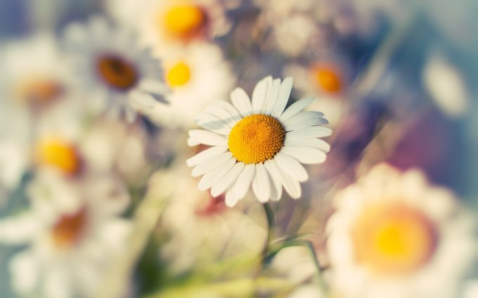 pictures of daisies