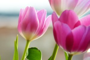 pictures of flowers tulips