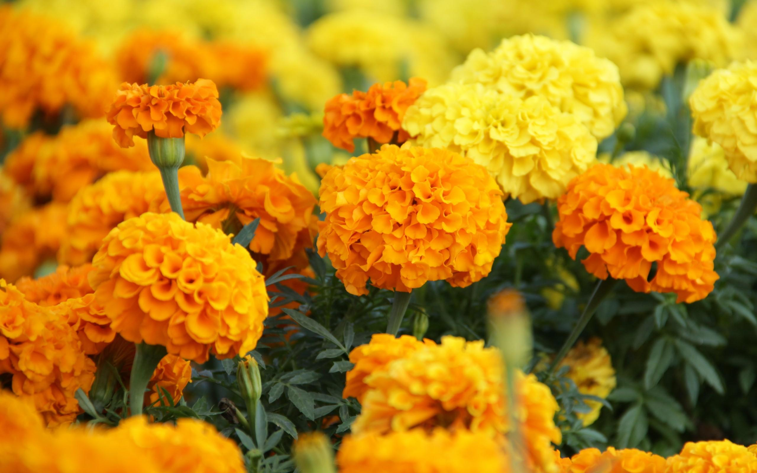 pictures of marigold flowers