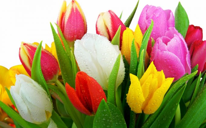 pictures of tulip flowers