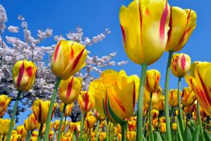 pictures of yellow tulips flowers
