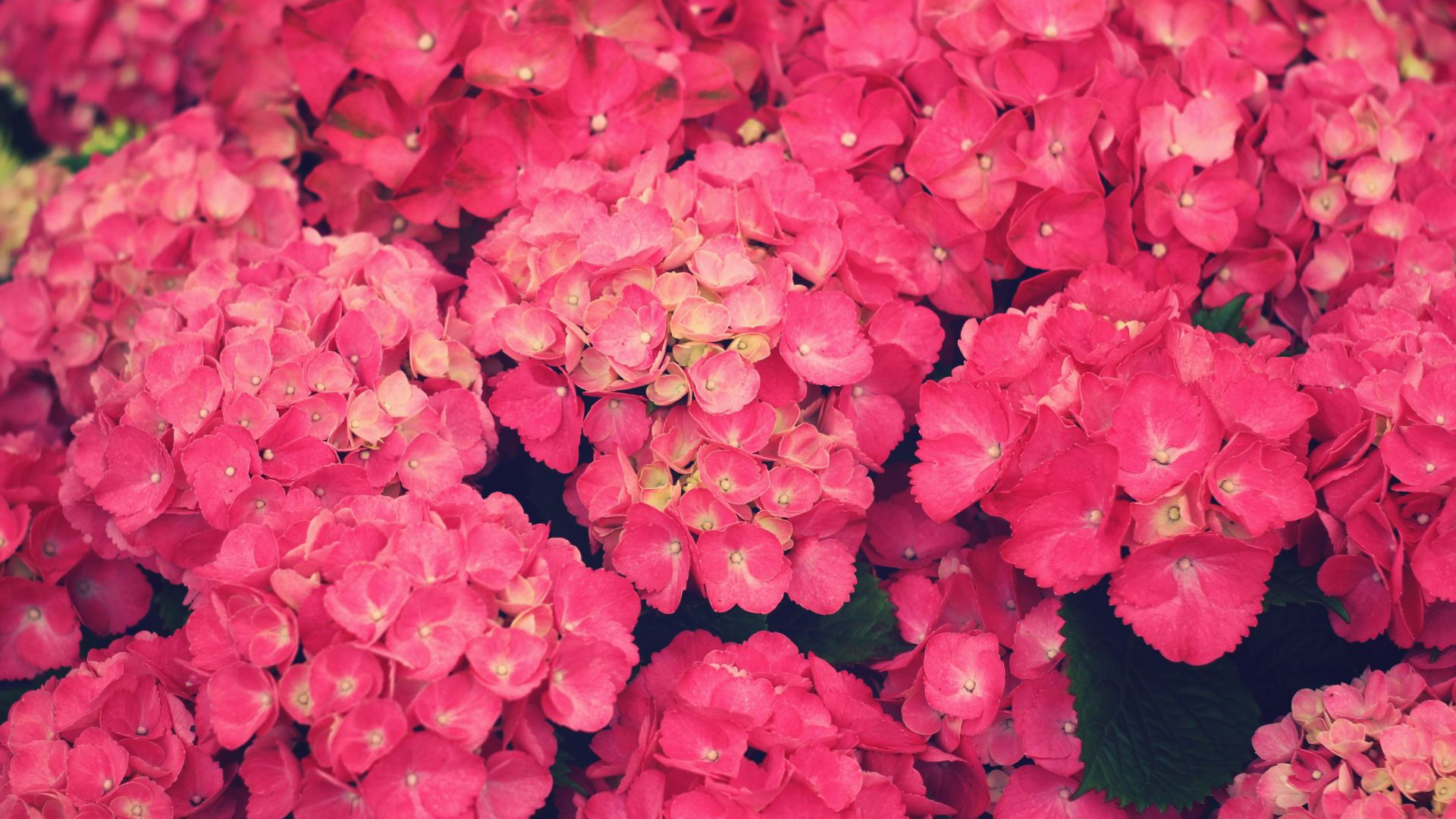 pictures pink flowers