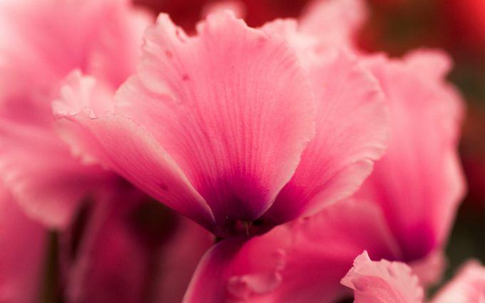 pink flower cyclamen close up