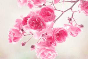 pink flowers background A2