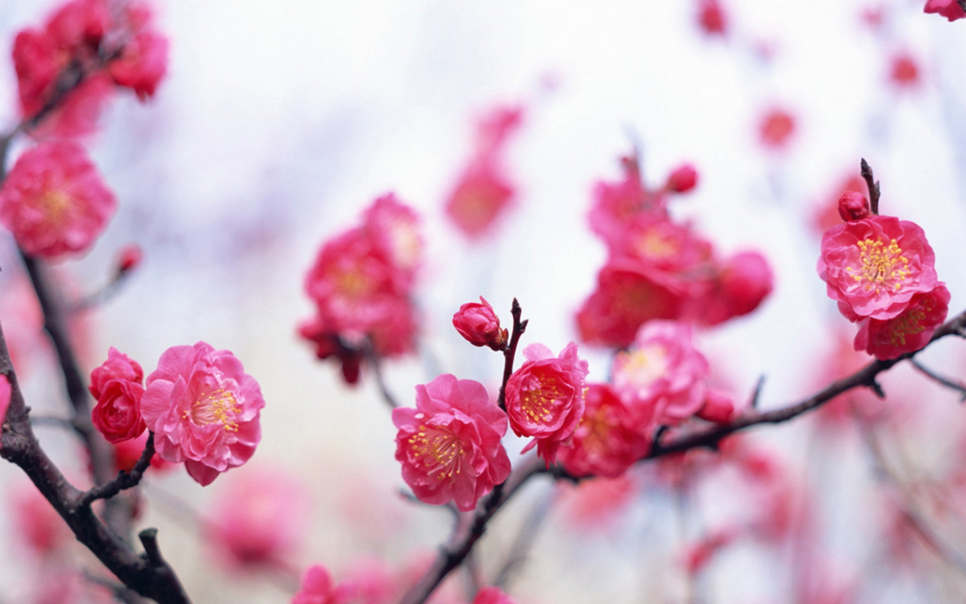 Pink flowers pic hd desktop wallpapers 4k hd - Pink flower wallpaper background ...
