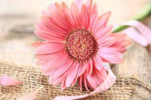 pink gerberas flower