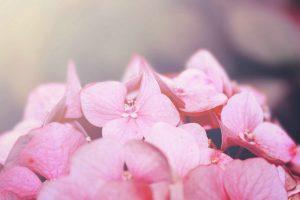 pink macro wallpaper HD