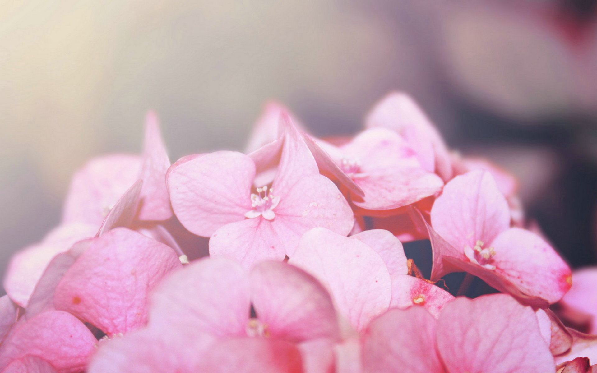 pink macro wallpaper HD