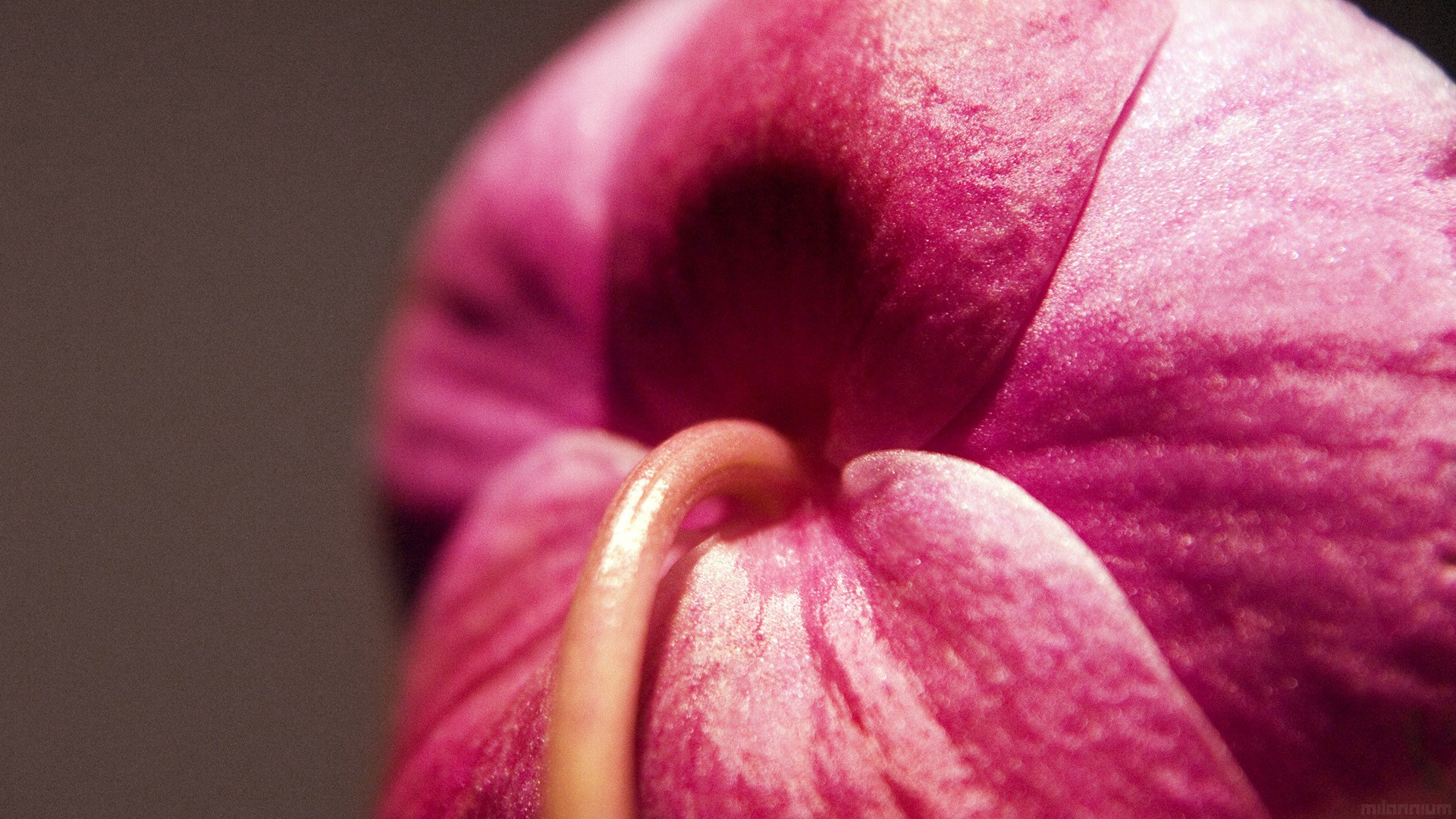 pink macro wallpapers hd