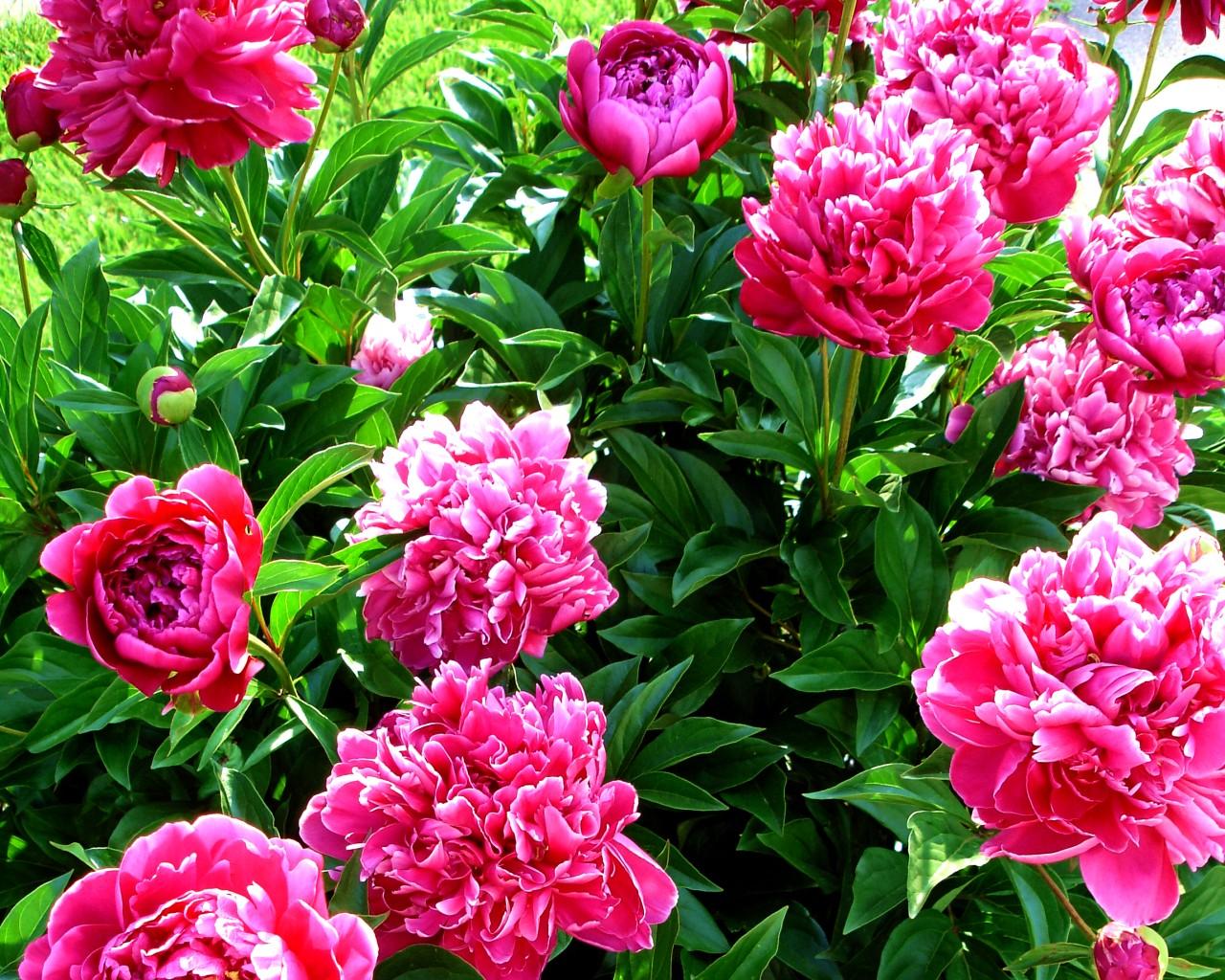 pink peony flower