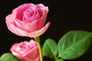 pink rose wallpaper background
