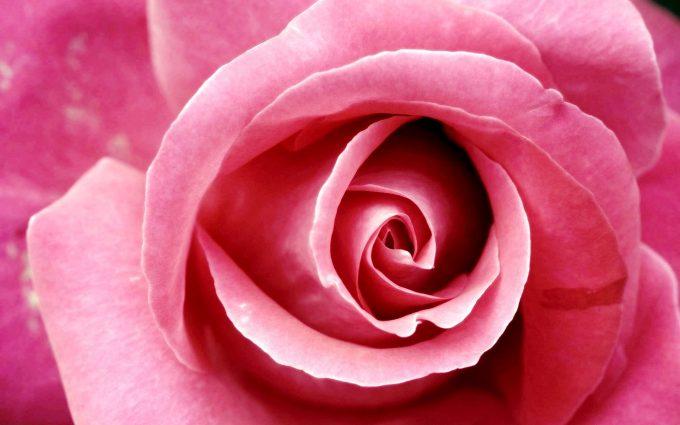 pink rose wallpaper beautiful