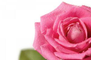 pink rose wallpaper flower