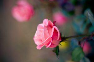 pink rose wallpaper flowers