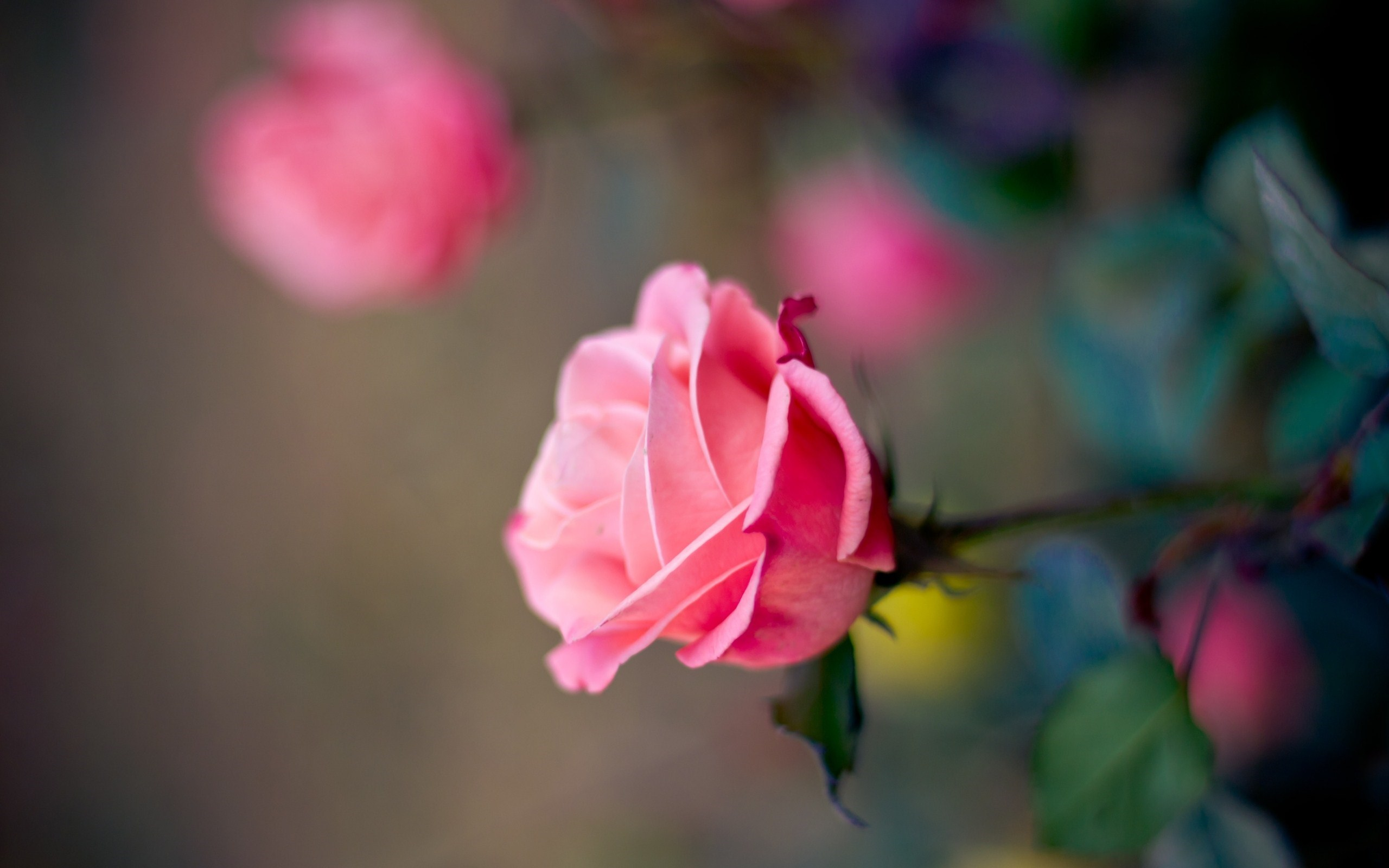 pink rose wallpaper flowers