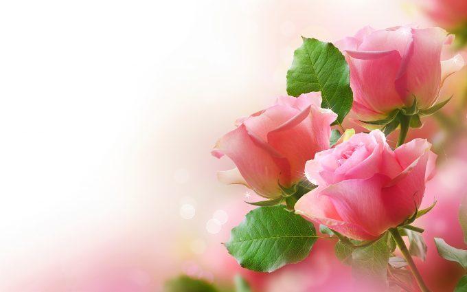 pink rose wallpaper free