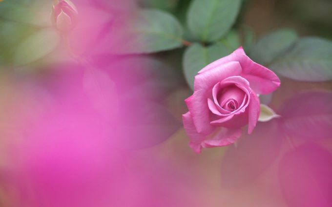 pink rose wallpaper garden