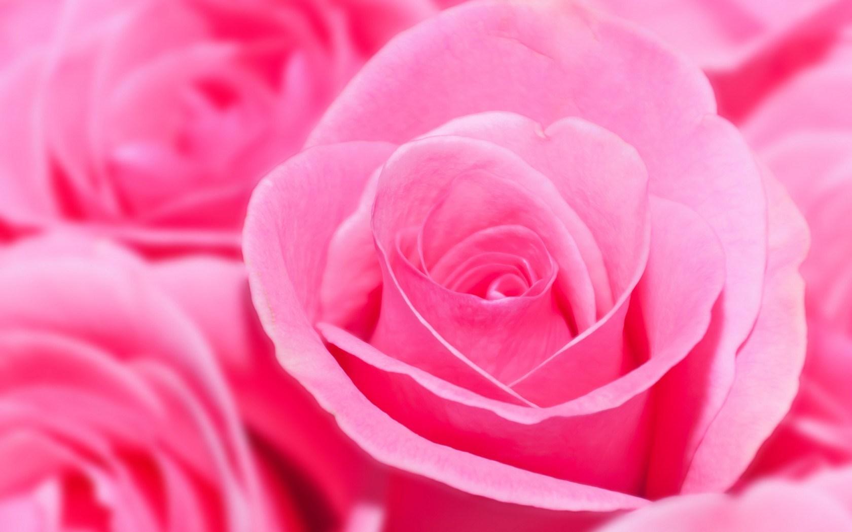 pink rose wallpaper  hd