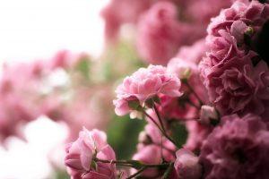 pink roses wallpaper 1080p