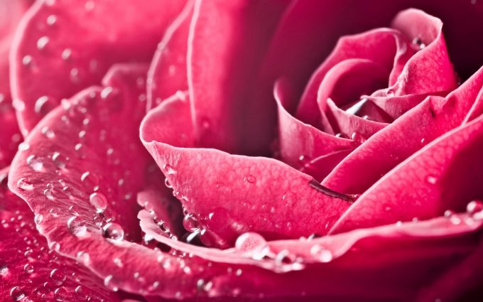 pink roses wallpaper beautiful