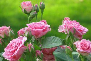 pink roses wallpaper download