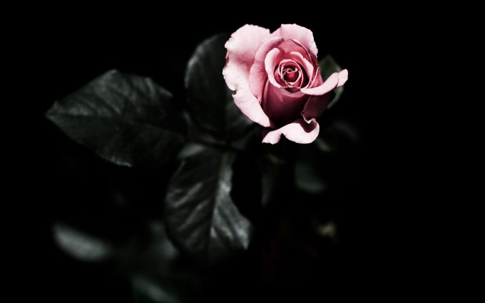 pink roses wallpaper flower