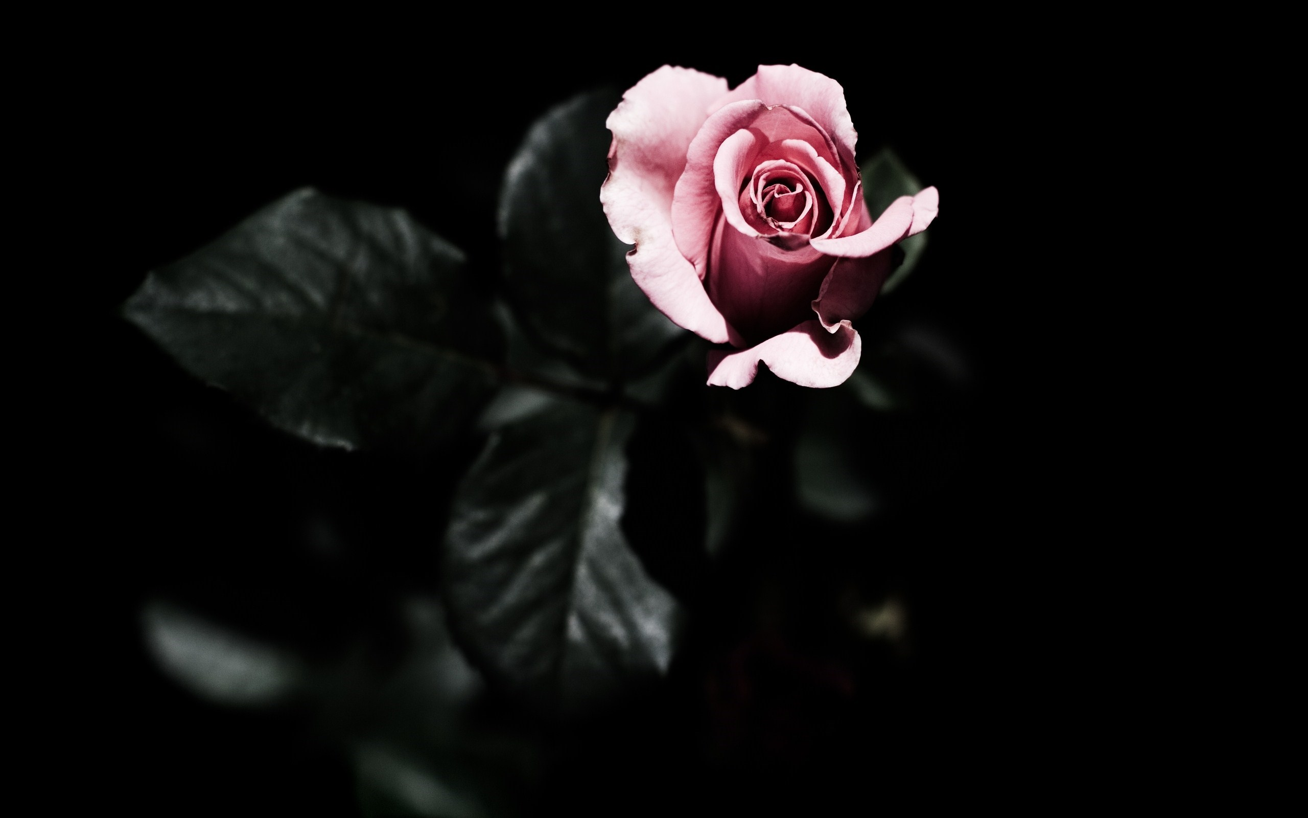 Pink roses wallpaper flower hd desktop wallpapers 4k hd - Pink rose black background wallpaper ...