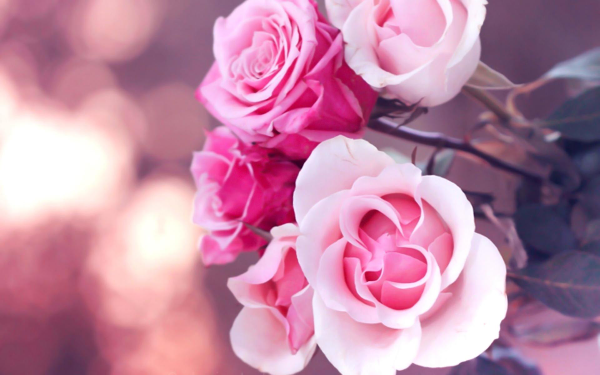 Pink roses wallpapers hd desktop wallpapers 4k hd - Pink roses background hd ...