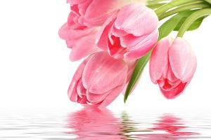 pink tulip picture