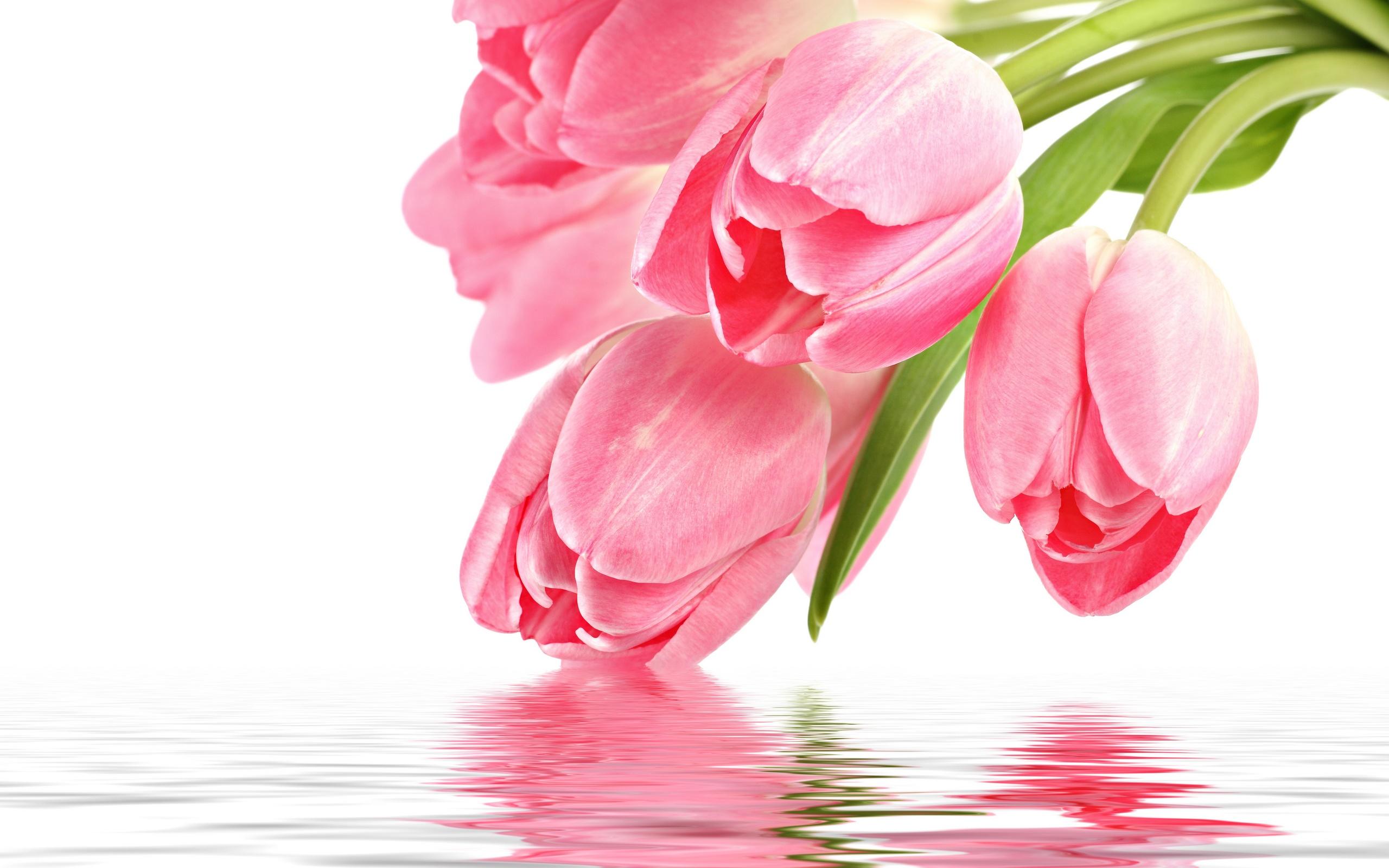 Pink Tulip Picture - HD Desktop Wallpapers