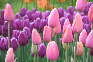 pink tulip pictures