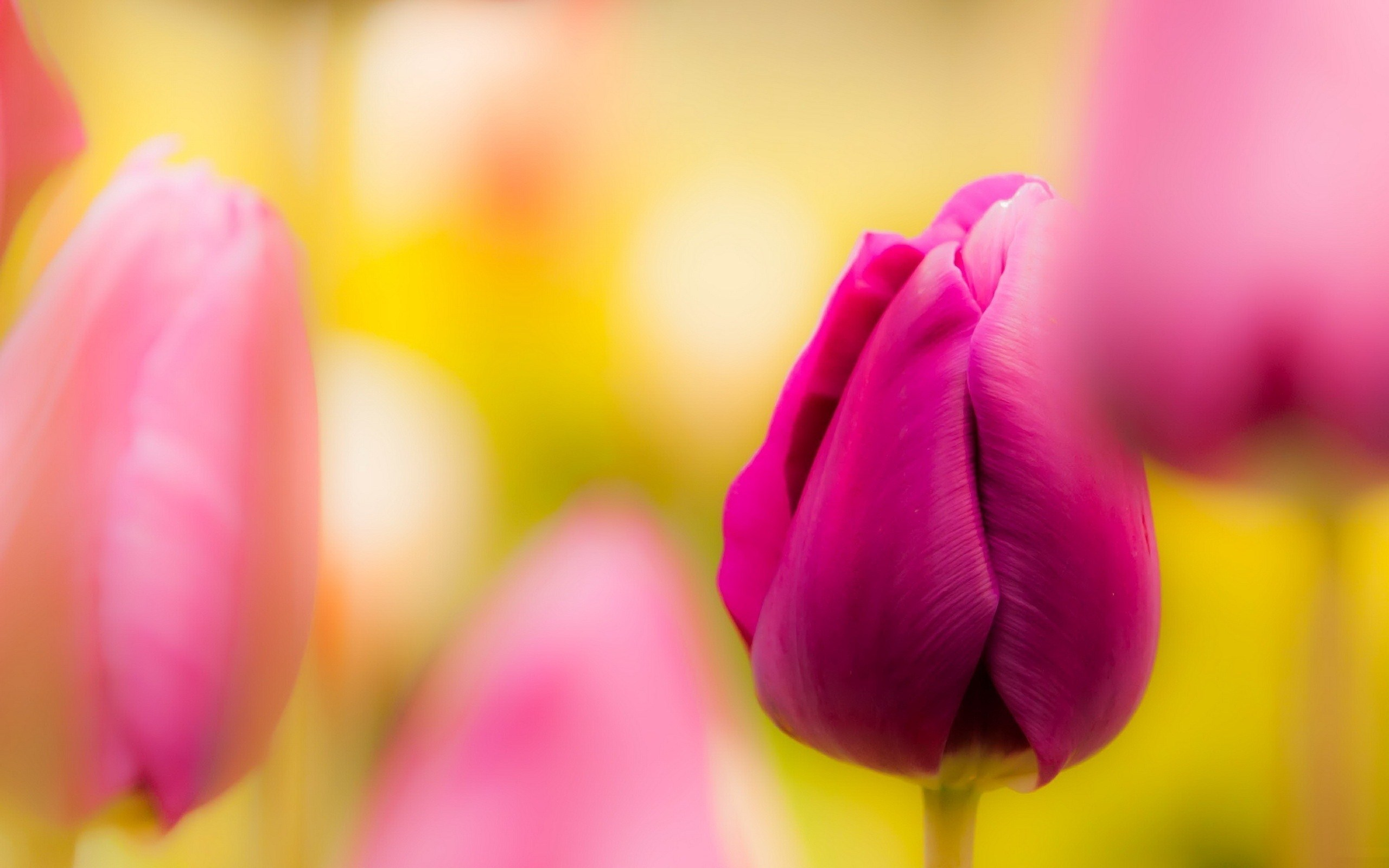 pink tulips blur photo
