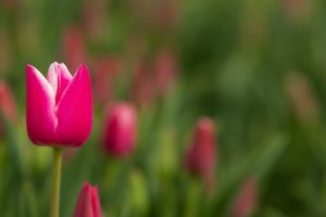 pink tulips great