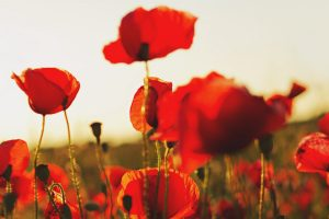 poppies wallpaper A2